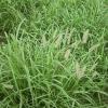 SEMENTES DE BUFFEL GRASS
