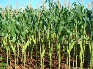 Corn_plants