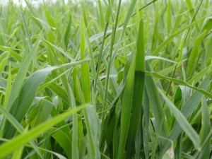 Brachiaria-ruziziensis-bioseeds-nutripasto